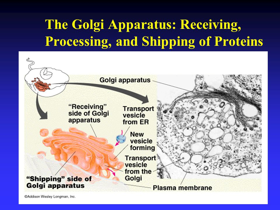 The Golgi Apparatus: Receiving, Processing, and Shipping of Proteins