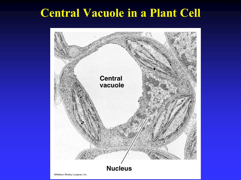 Central Vacuole in a Plant Cell