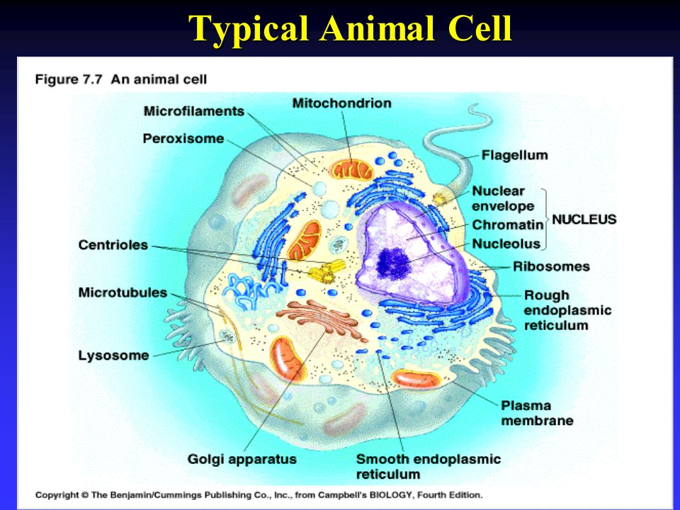 Typical Animal Cell