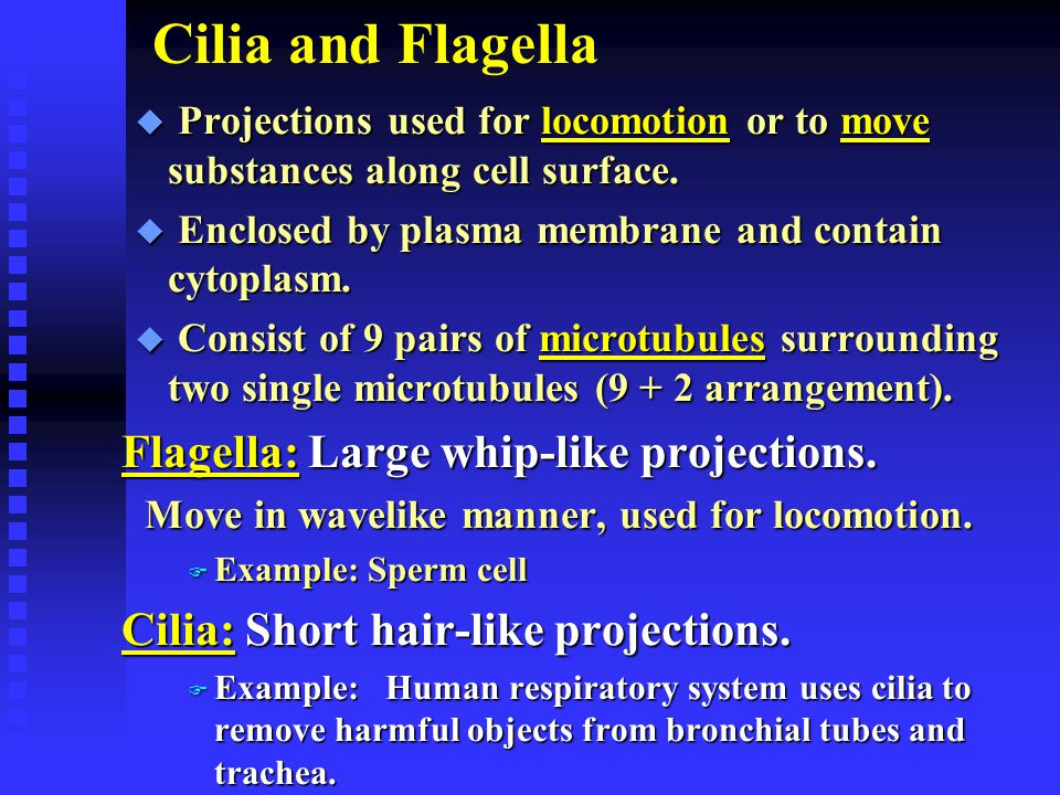 Cilia and Flagella Flagella: Large whip-like projections.