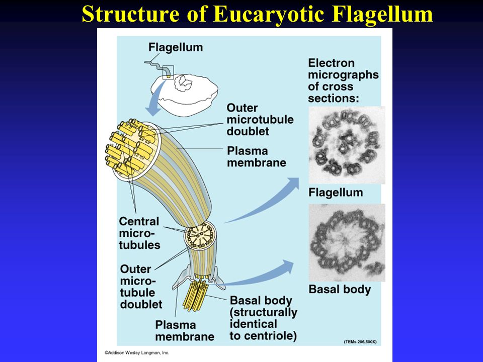Structure of Eucaryotic Flagellum