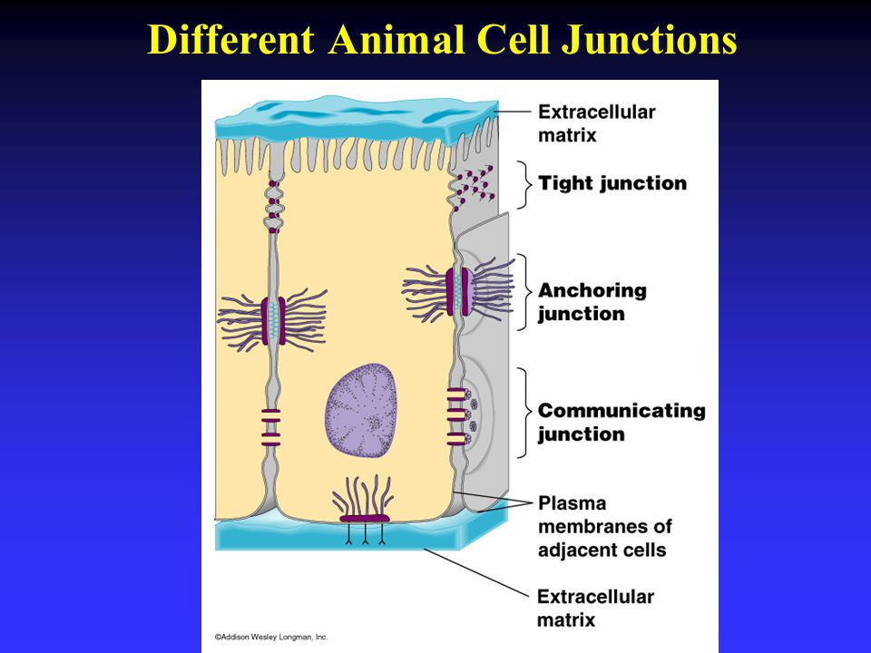Different Animal Cell Junctions