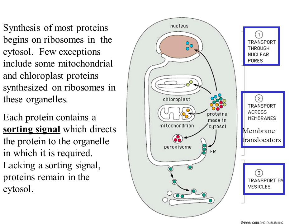 Synthesis of most proteins begins on ribosomes in the cytosol