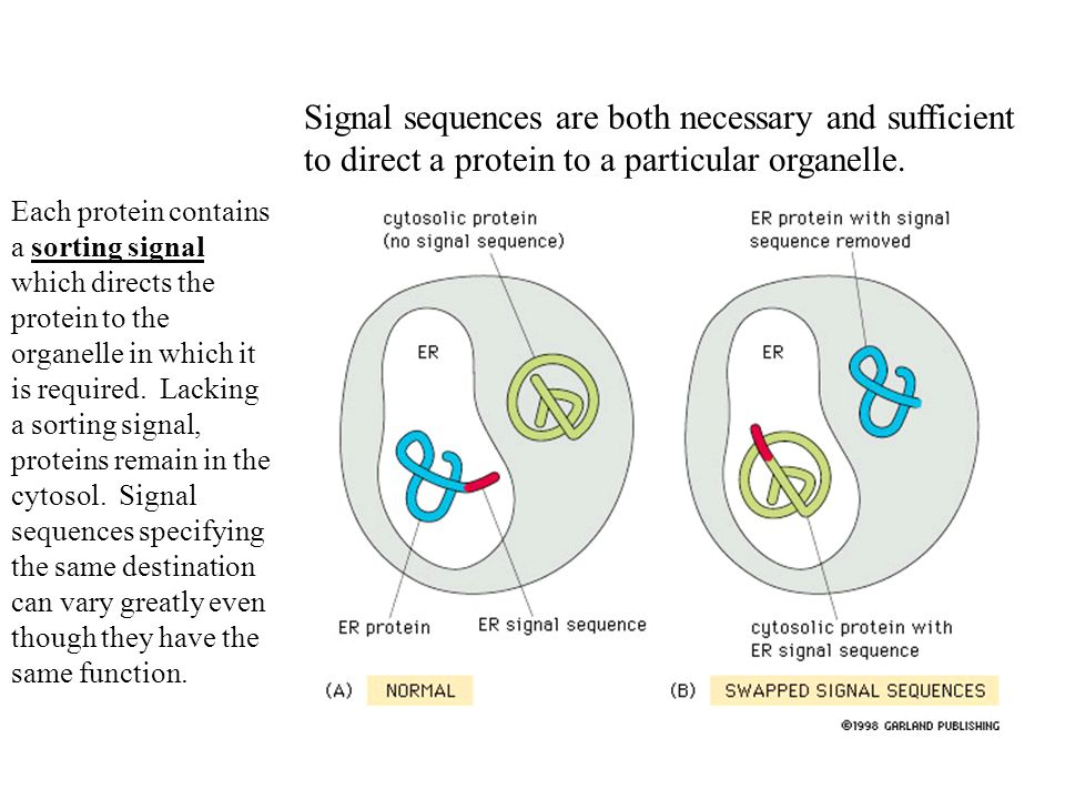 Signal sequences are both necessary and sufficient to direct a protein to a particular organelle.