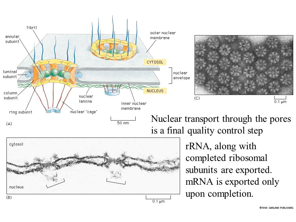 Nuclear transport through the pores is a final quality control step