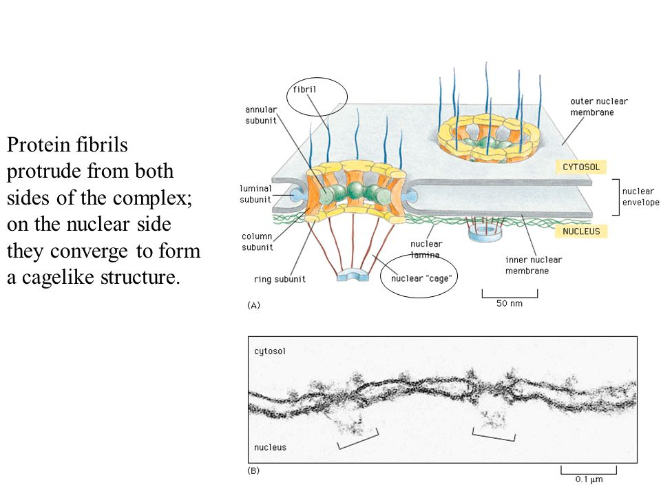 Protein fibrils protrude from both sides of the complex; on the nuclear side they converge to form a cagelike structure.