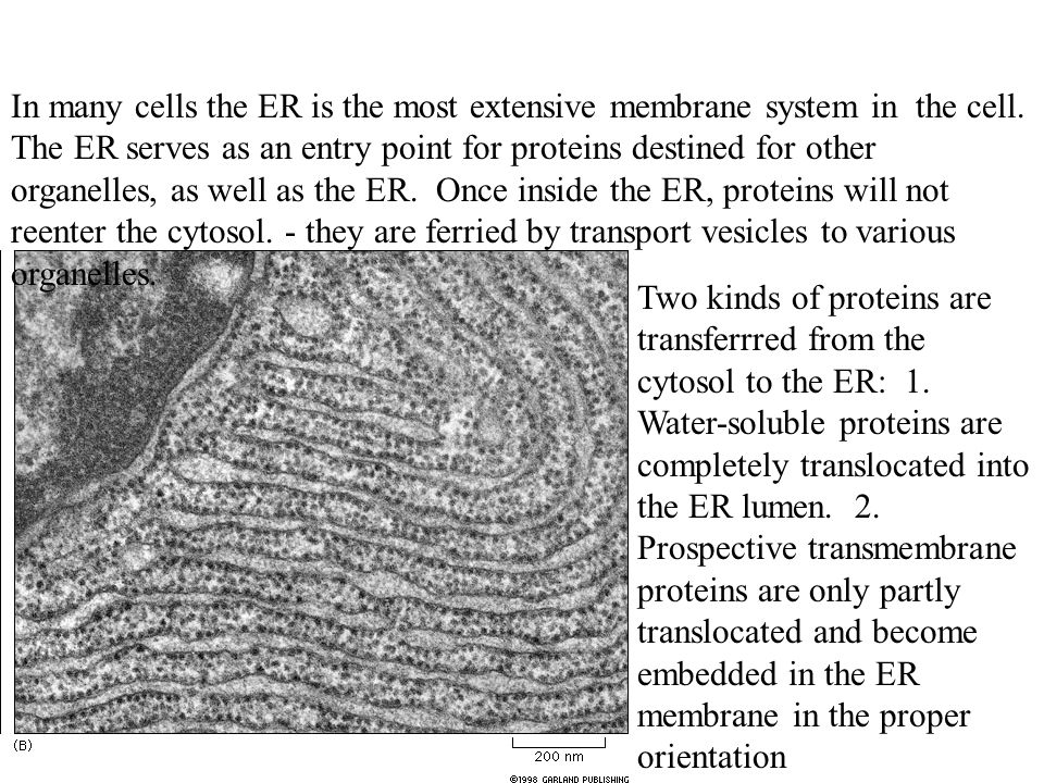 In many cells the ER is the most extensive membrane system in the cell