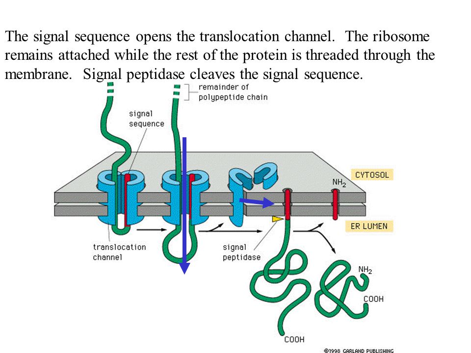 The signal sequence opens the translocation channel