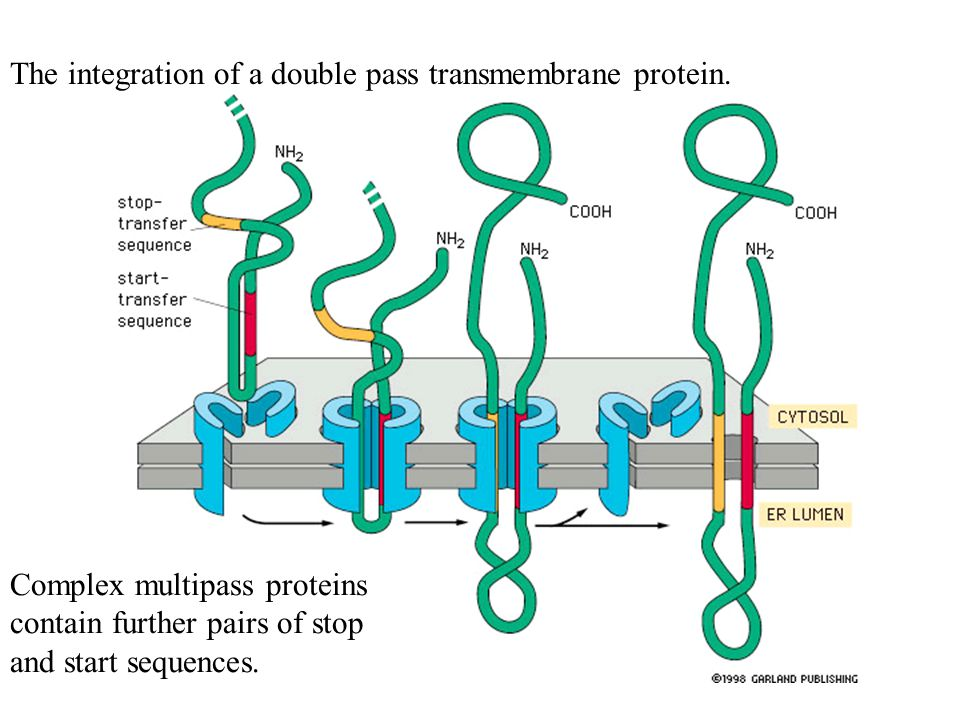 The integration of a double pass transmembrane protein.