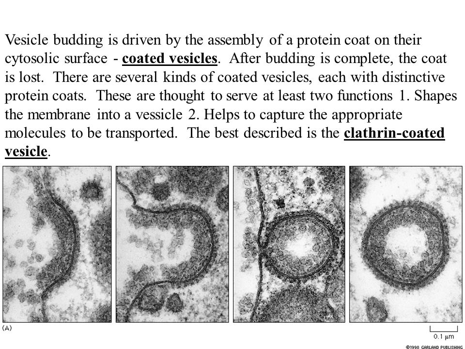 Vesicle budding is driven by the assembly of a protein coat on their cytosolic surface - coated vesicles.
