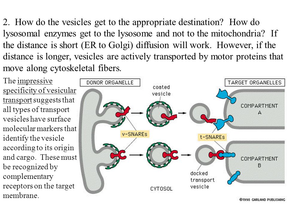 2. How do the vesicles get to the appropriate destination