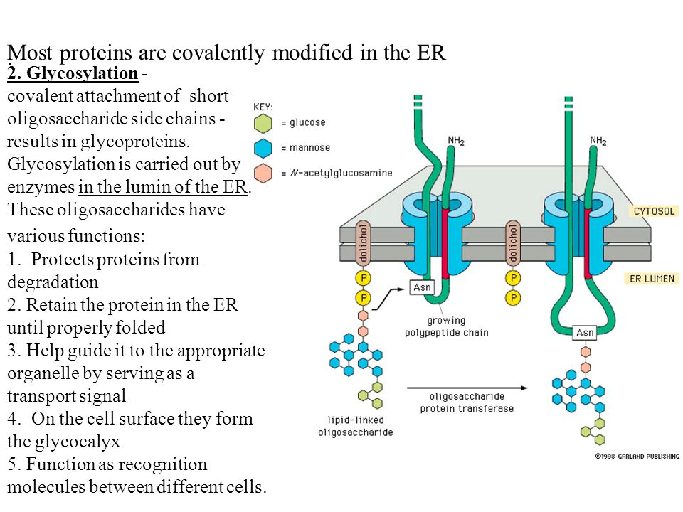 Most proteins are covalently modified in the ER .
