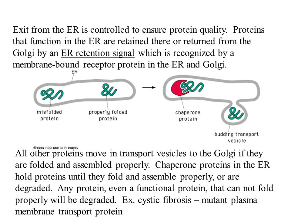 Exit from the ER is controlled to ensure protein quality