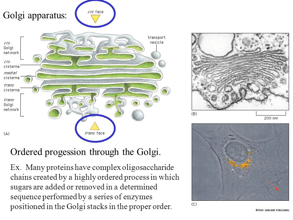 Ordered progession through the Golgi.