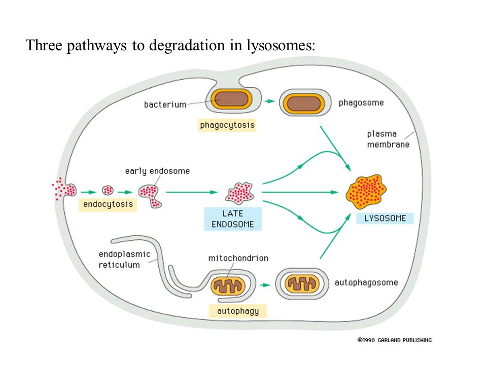Three pathways to degradation in lysosomes: