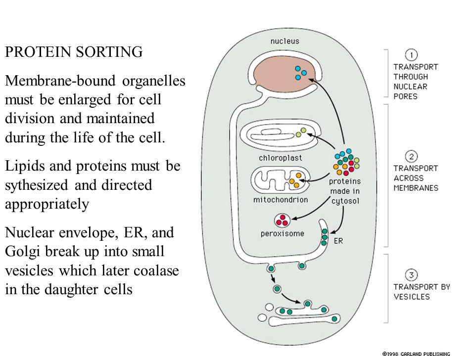 PROTEIN SORTING Membrane-bound organelles must be enlarged for cell division and maintained during the life of the cell.