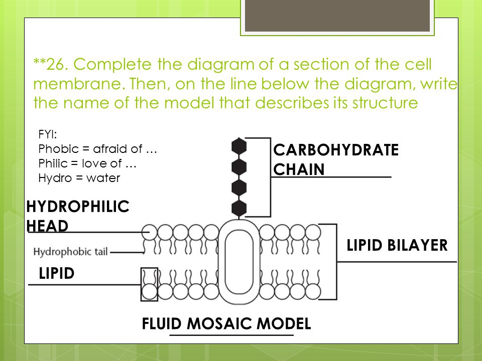 26. Complete the diagram of a section of the cell membrane