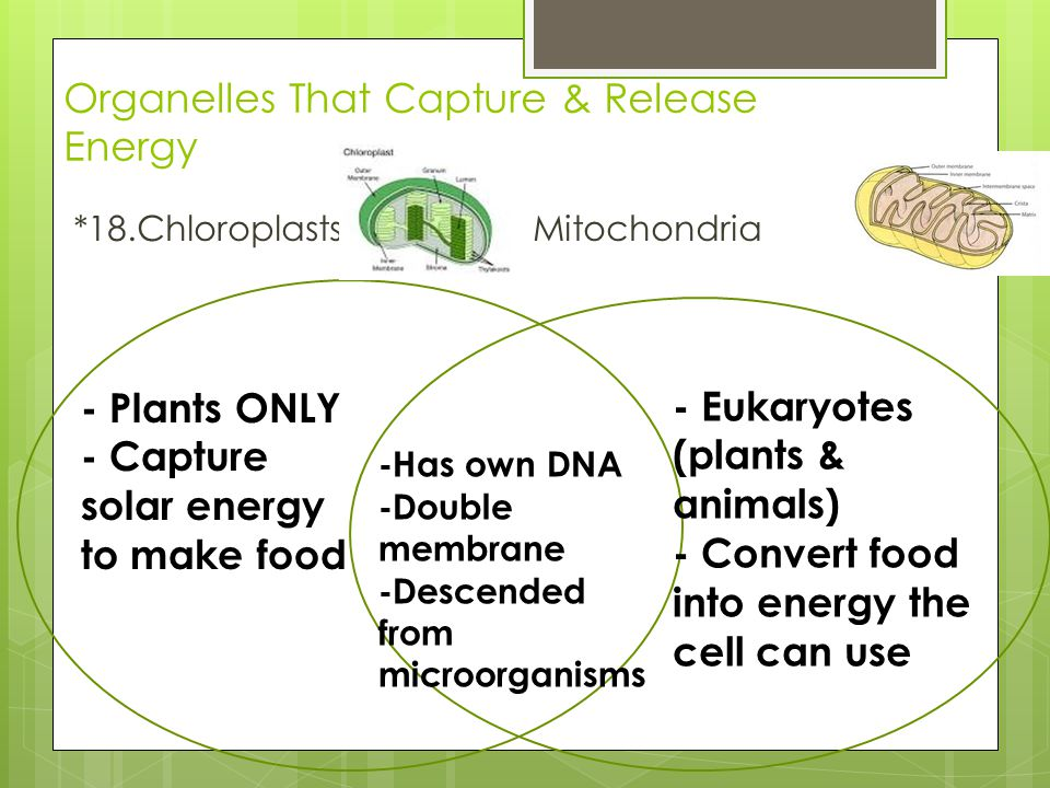 Organelles That Capture & Release Energy