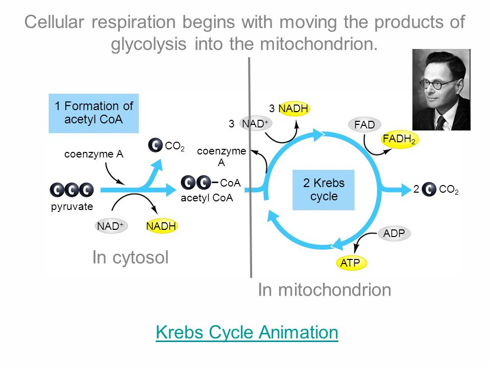 Cellular respiration begins with moving the products of glycolysis into the mitochondrion.