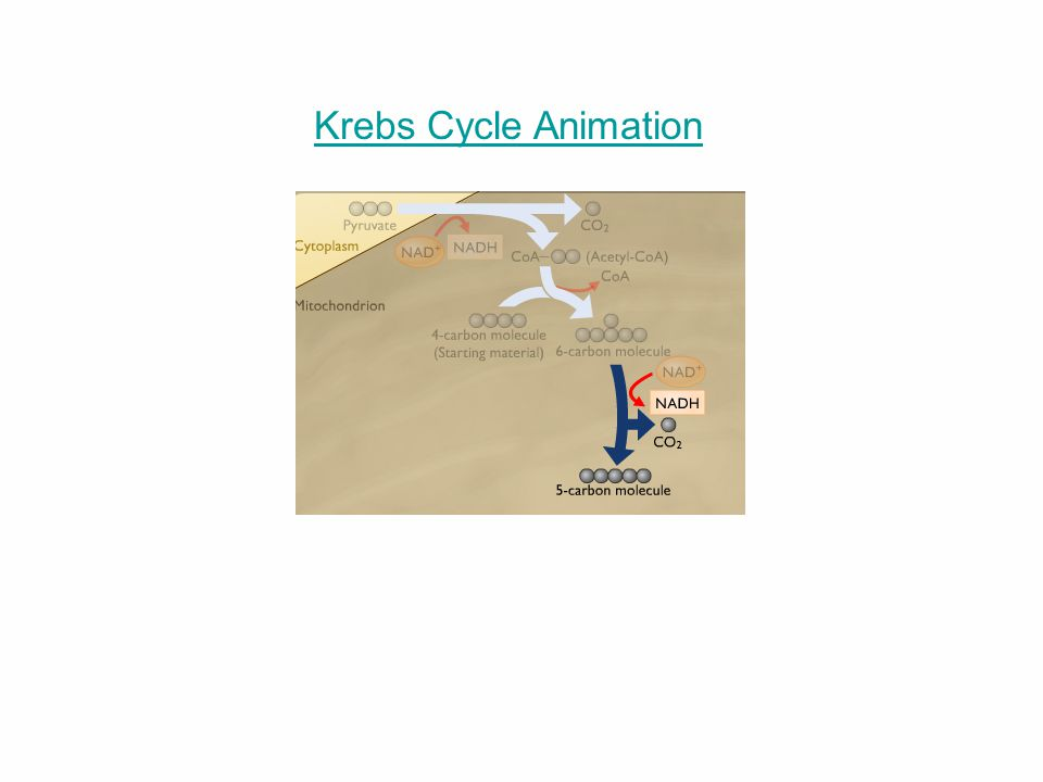 Krebs Cycle Animation