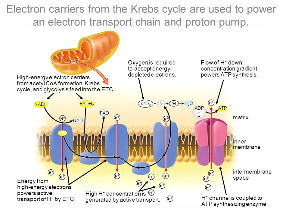 Electron carriers from the Krebs cycle are used to power an electron transport chain and proton pump.