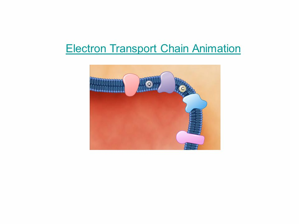 Electron Transport Chain Animation