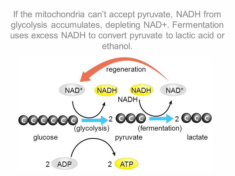 If the mitochondria can't accept pyruvate, NADH from glycolysis accumulates, depleting NAD+. Fermentation uses excess NADH to convert pyruvate to lactic acid or ethanol.