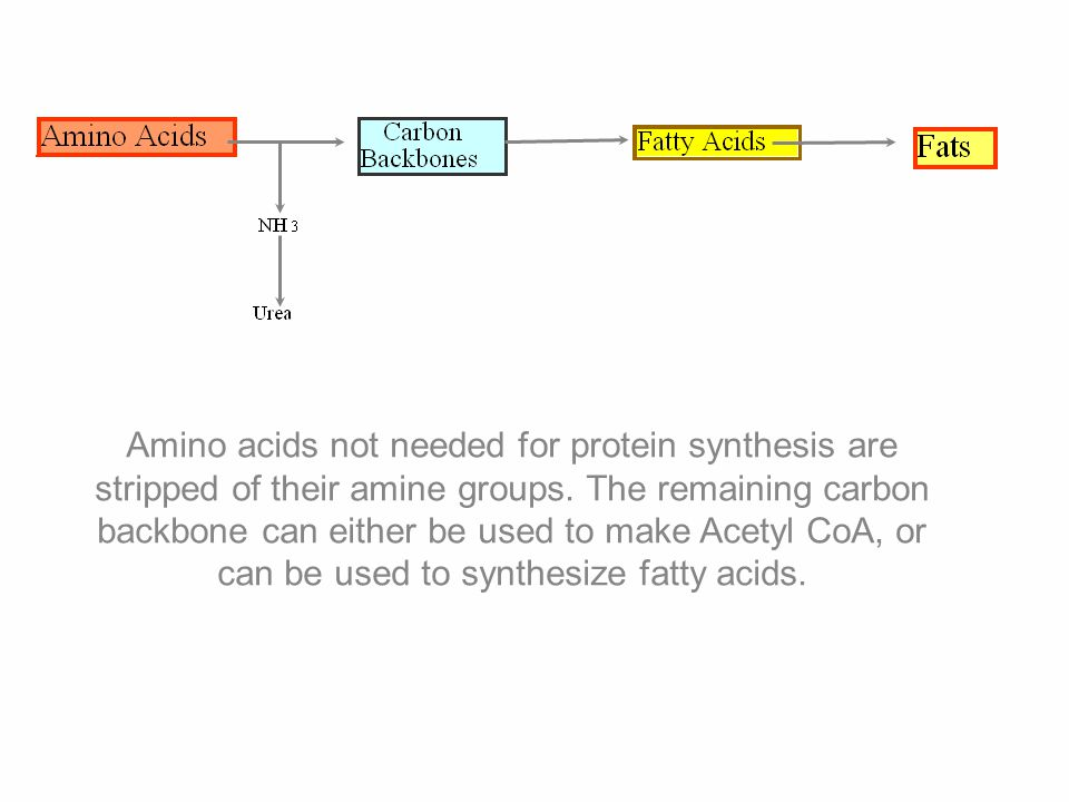 Amino acids not needed for protein synthesis are stripped of their amine groups.