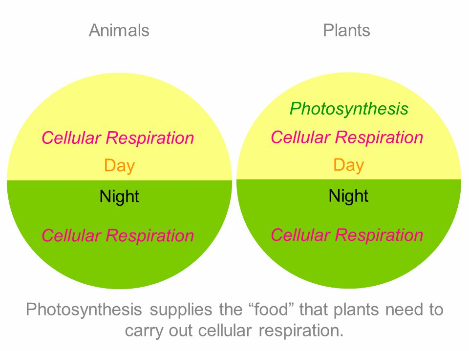 Animals Plants. Photosynthesis. Cellular Respiration. Cellular Respiration. Day. Day. Night. Night.