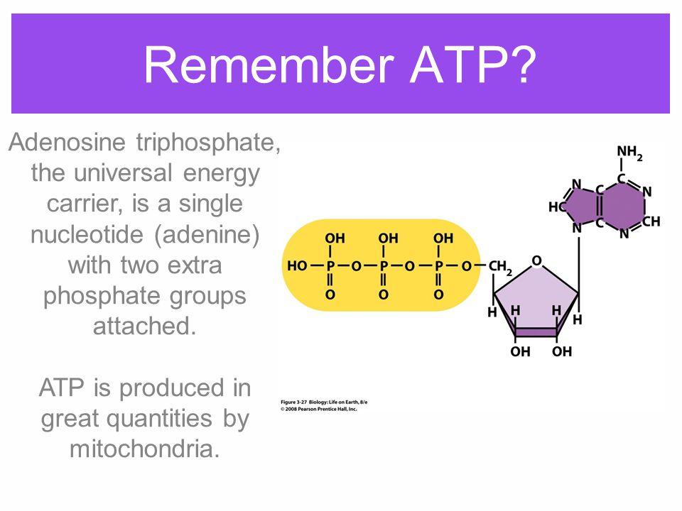 ATP is produced in great quantities by mitochondria.