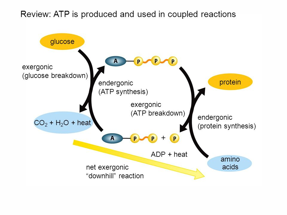 Review: ATP is produced and used in coupled reactions