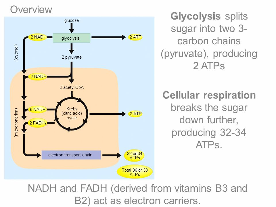Overview Glycolysis splits sugar into two 3-carbon chains (pyruvate), producing 2 ATPs. glucose. 2 NADH.