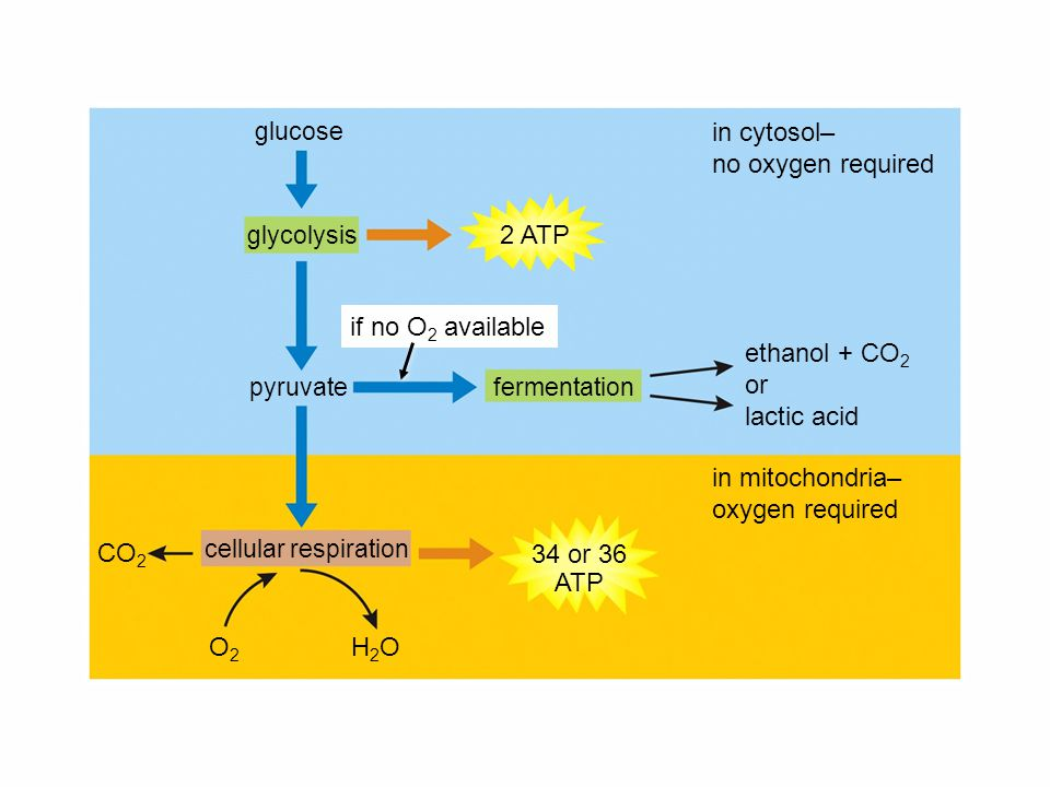 in cytosol– no oxygen required 2 ATP if no O2 available ethanol + CO2
