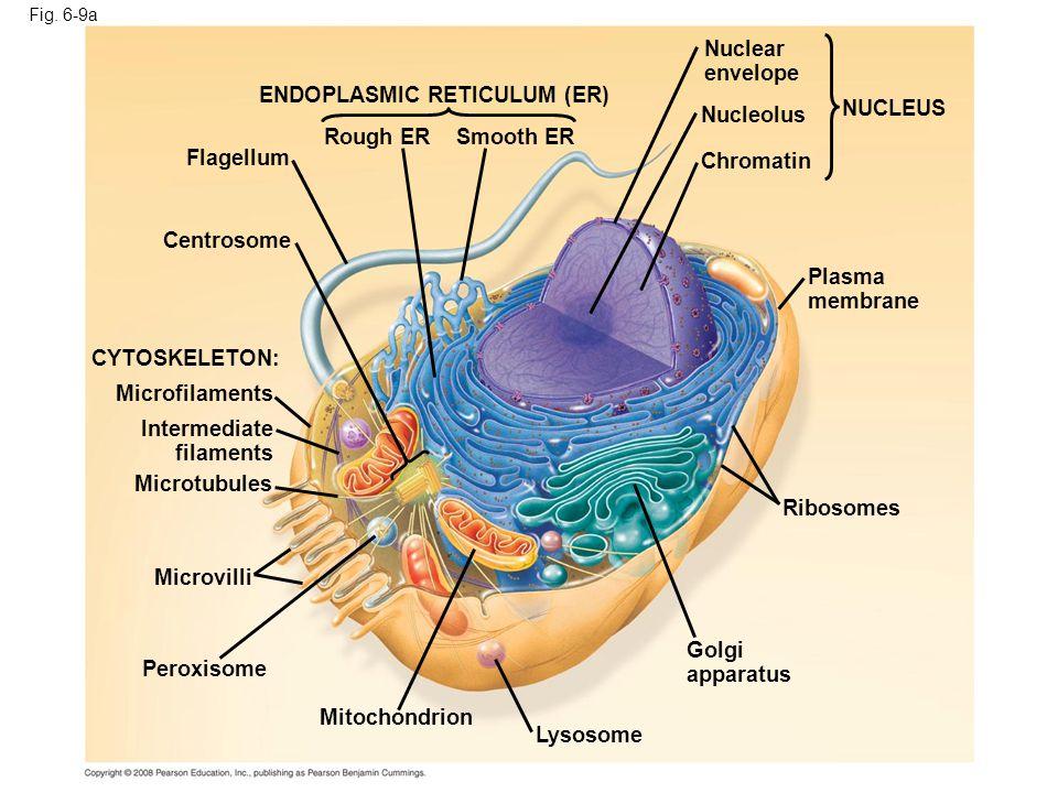 ENDOPLASMIC RETICULUM (ER) Nucleolus NUCLEUS Rough ER Smooth ER