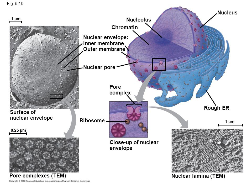 Close-up of nuclear envelope