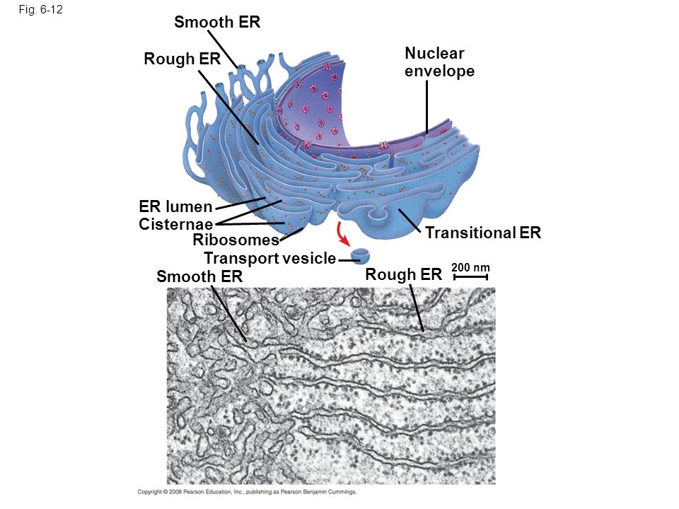 Smooth ER Nuclear envelope Rough ER ER lumen Cisternae Transitional ER