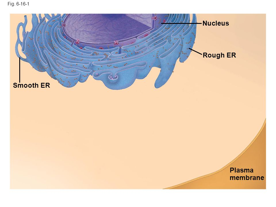 Nucleus Rough ER Smooth ER Plasma membrane Fig. 6-16-1