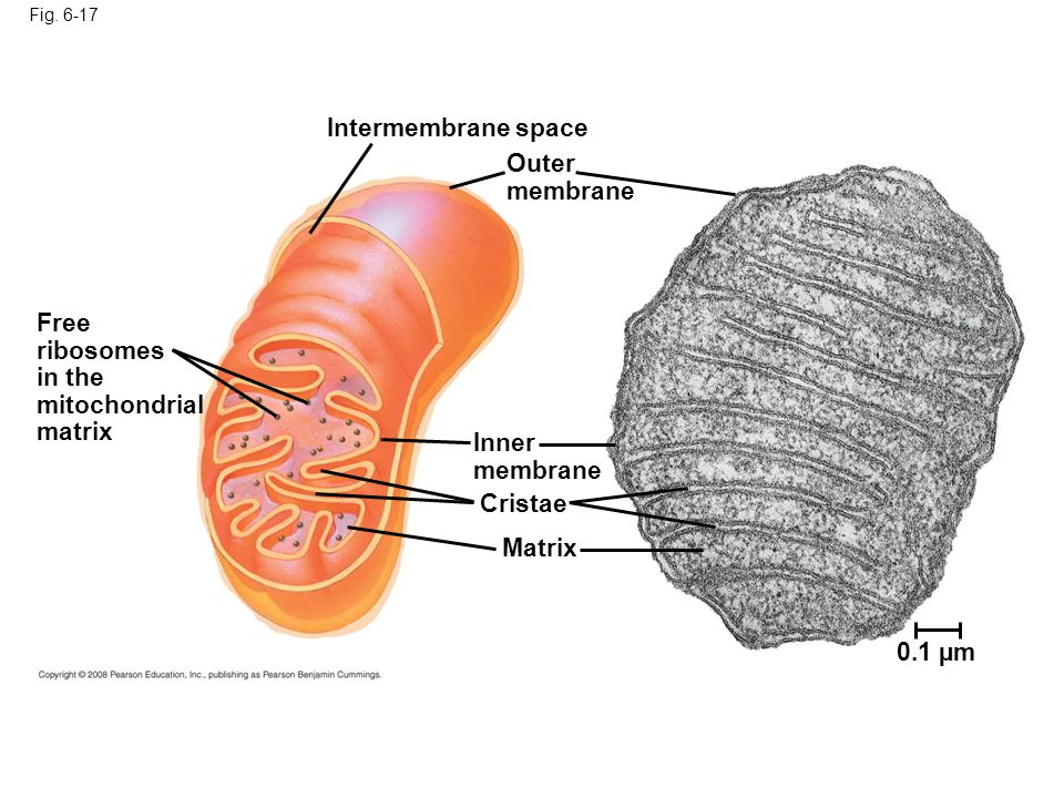 in the mitochondrial matrix