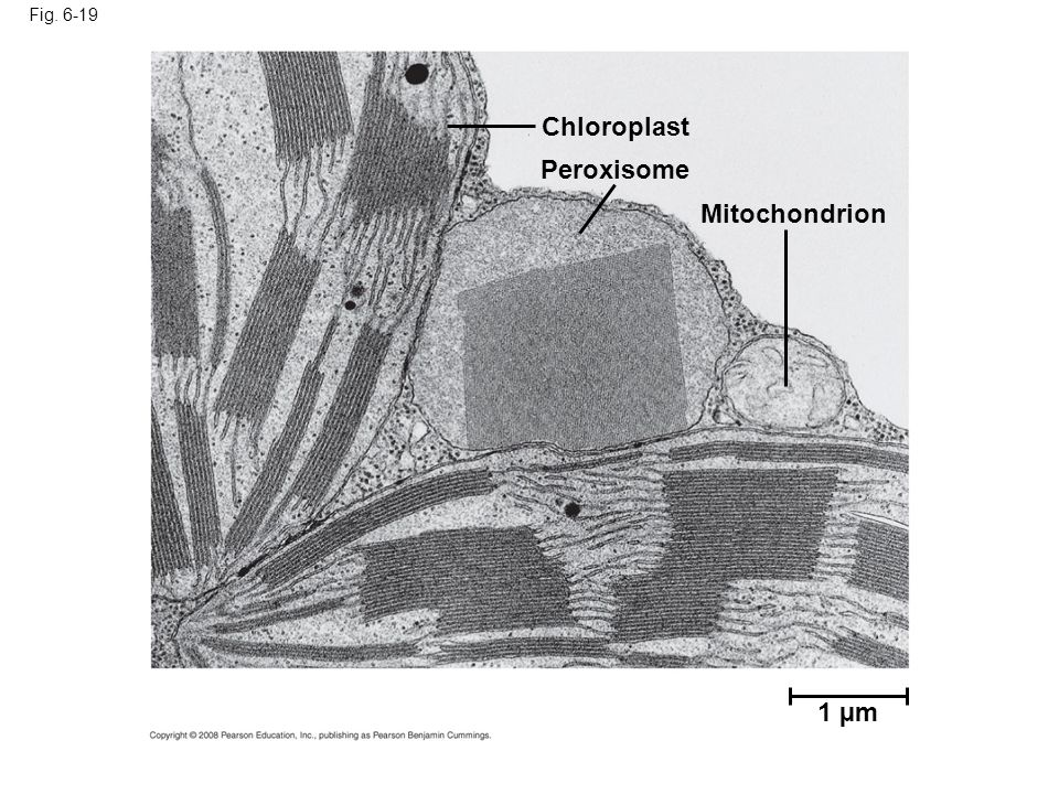 Chloroplast Peroxisome Mitochondrion 1 µm Fig. 6-19