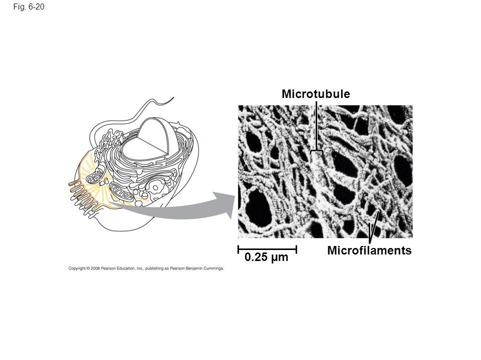 Microtubule Microfilaments 0.25 µm Fig. 6-20