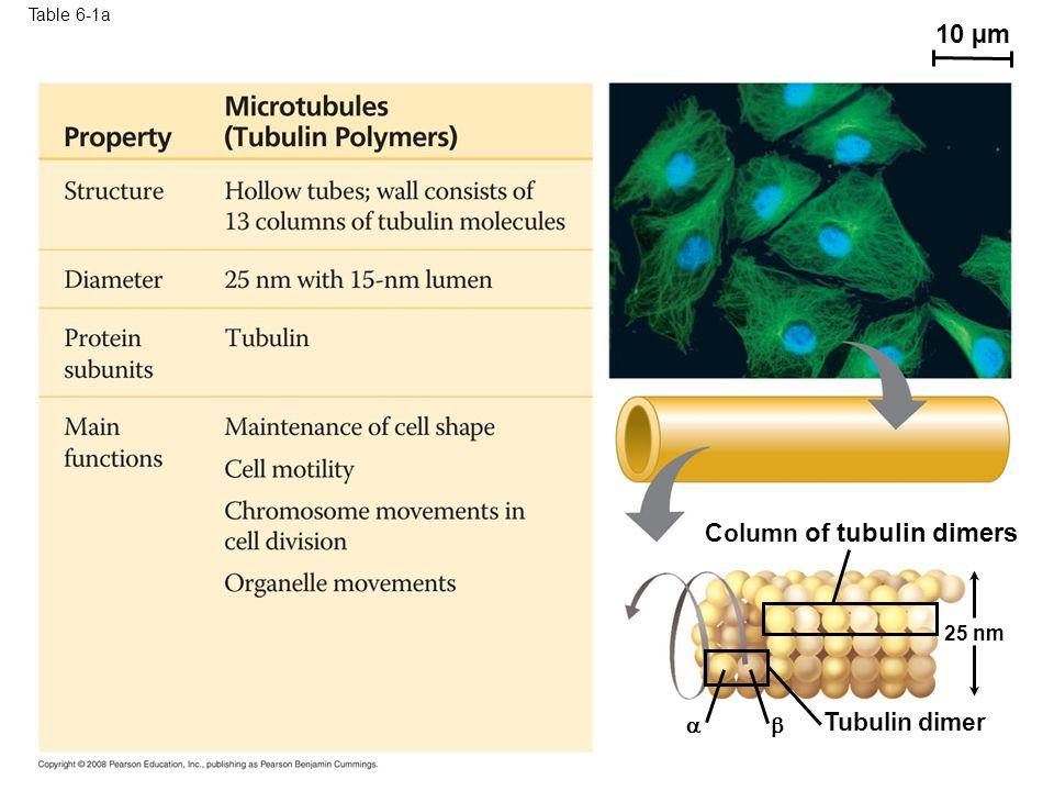 10 µm Column of tubulin dimers Tubulin dimer   25 nm Table 6-1a