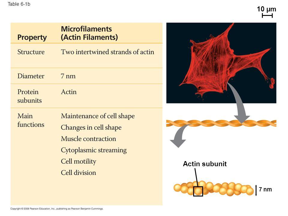 Table 6-1b 10 µm Table 6-1b Actin subunit 7 nm