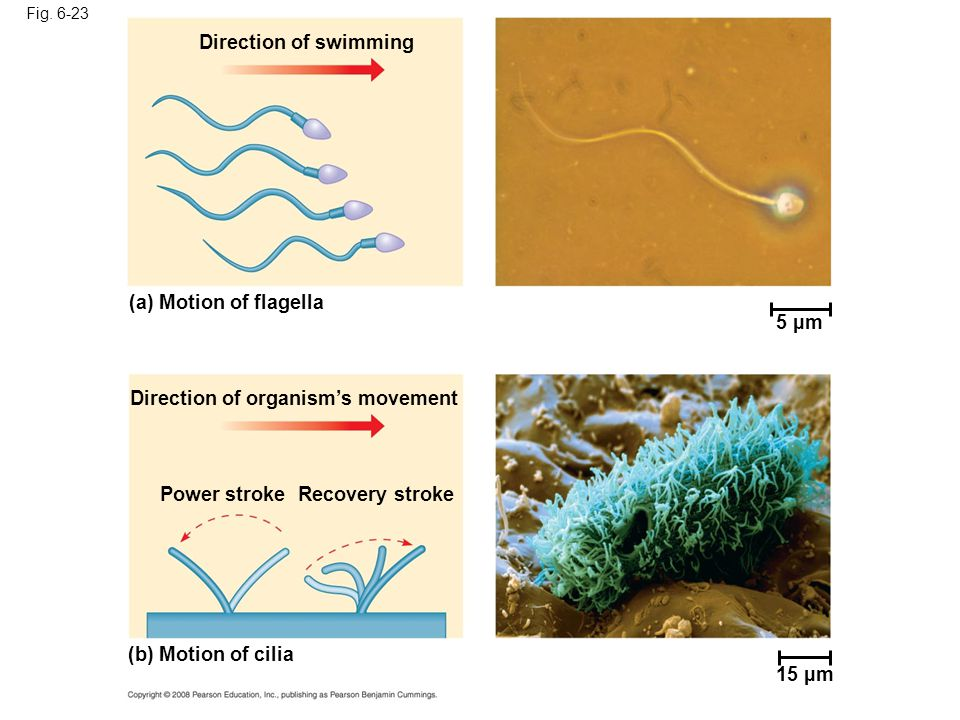 Direction of organism's movement