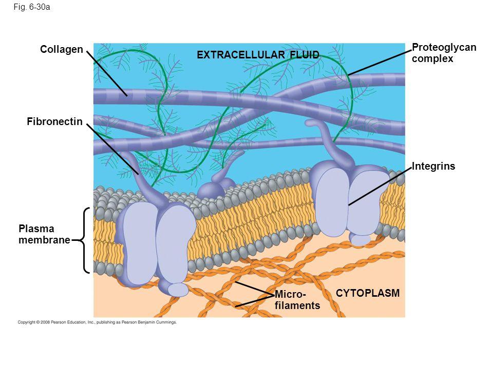 Proteoglycan complex Collagen EXTRACELLULAR FLUID Fibronectin