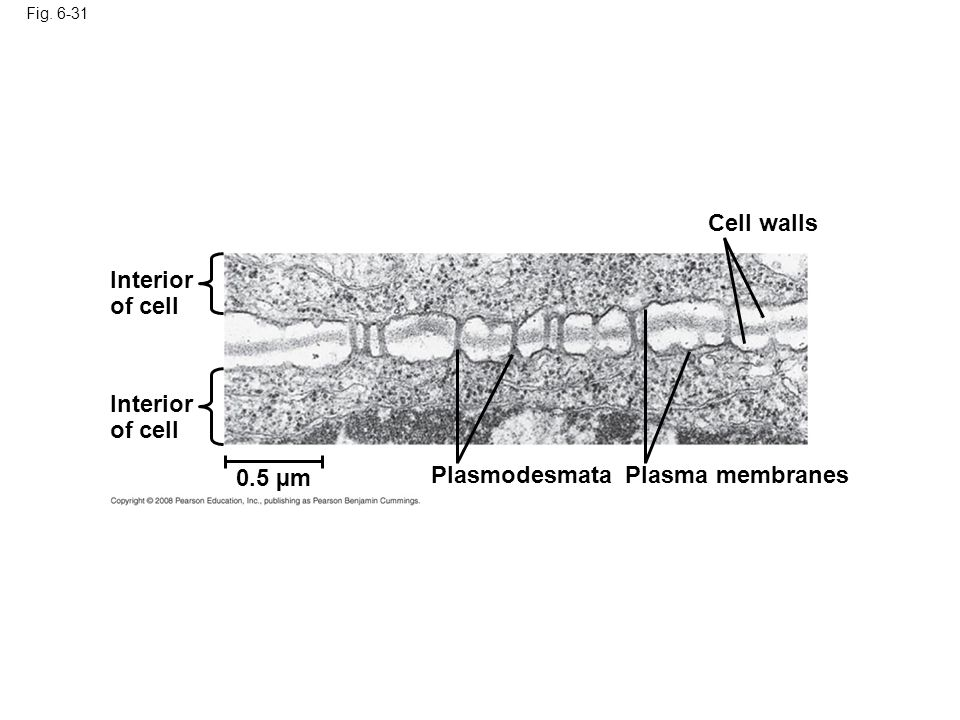Cell walls Interior of cell Interior of cell 0.5 µm Plasmodesmata