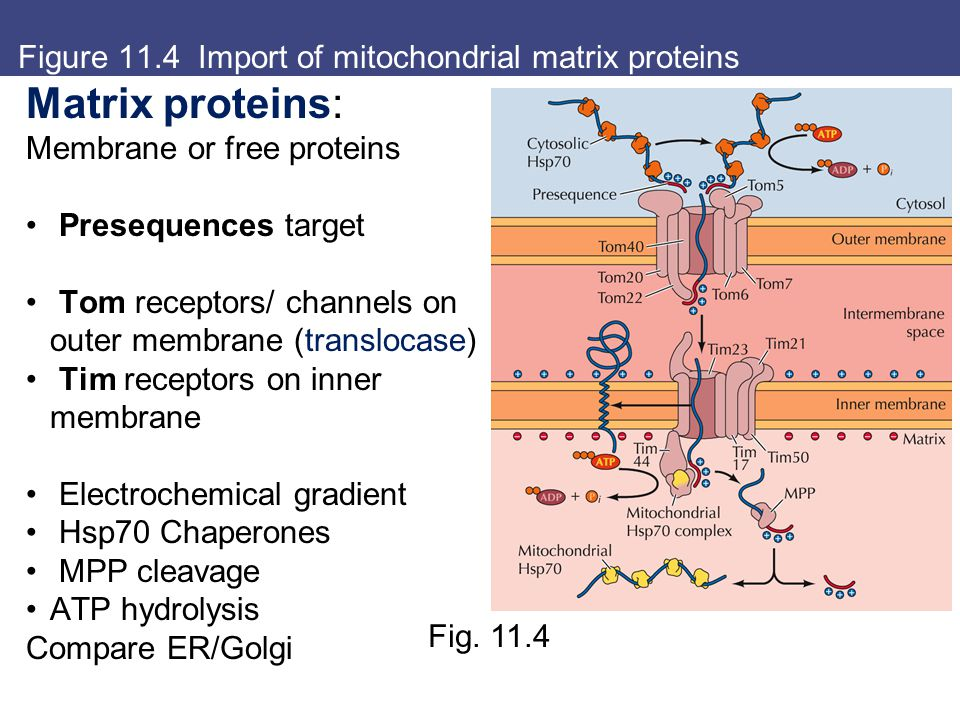 Figure 11.4 Import of mitochondrial matrix proteins