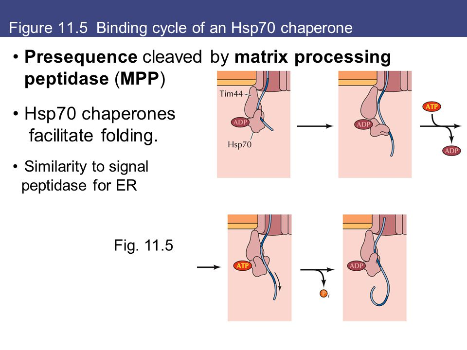 Figure 11.5 Binding cycle of an Hsp70 chaperone