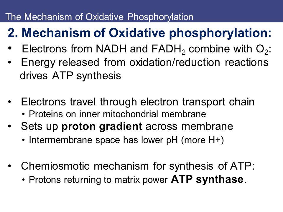 The Mechanism of Oxidative Phosphorylation