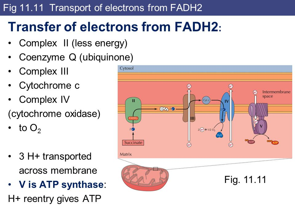 Fig 11.11 Transport of electrons from FADH2