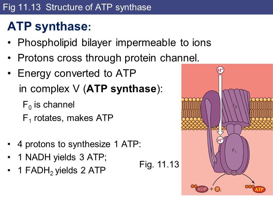 Fig 11.13 Structure of ATP synthase